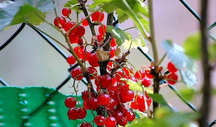 Ribes Bioologico PRORAONLINE